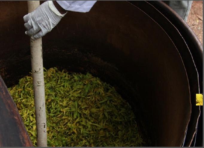 ylang-ylang-distillation