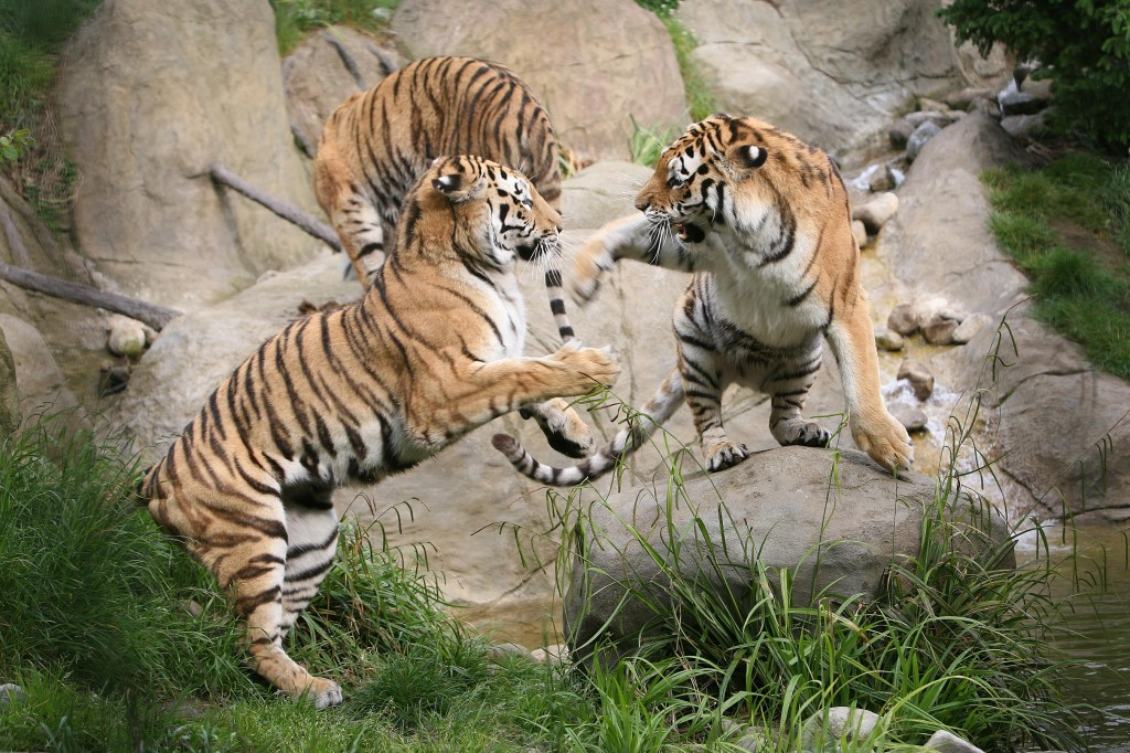 Tigers at Dublin Zoo