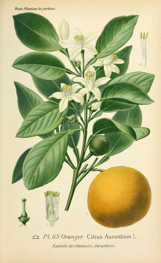 dessin-de-fleur-de-jardin-0133-oranger-citrus-aurantium